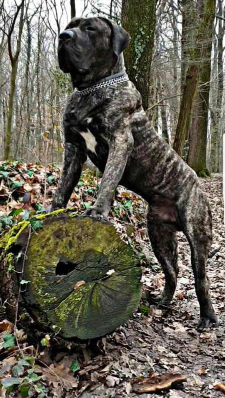BRUTUS Bad Dogz Canario